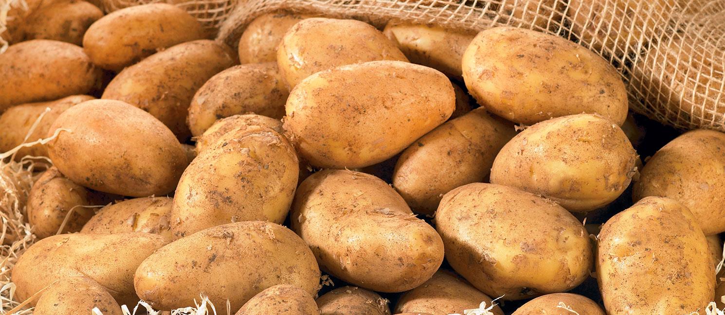 Pomme de terre bintje prix recettes et conservation - Comment conserver des pommes de terre coupees ...