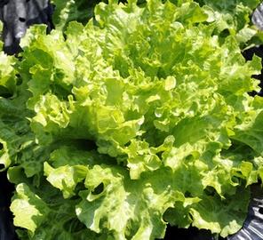 Salade reine des glaces prix recettes et conservation grand frais - Salade reine des glaces ...